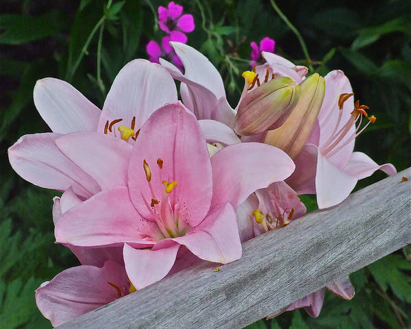 Photograph - Pink Lilies Corralled by Janis Nussbaum Senungetuk
