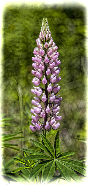 Wall Art - Photograph - Pink Lupine by Stephen Stookey
