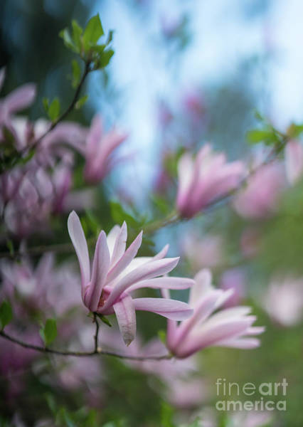 Depth Of Field Photograph - Pink Magnolia Blooms Peaceful by Mike Reid