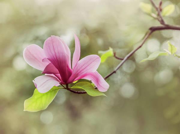 Wall Art - Photograph - Pink Magnolia Flower by Jaroslaw Blaminsky