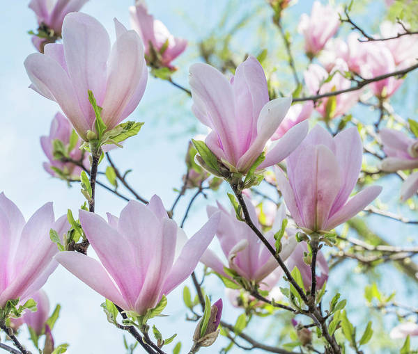 Wall Art - Photograph - Pink Magnolia Flowers by Iris Richardson