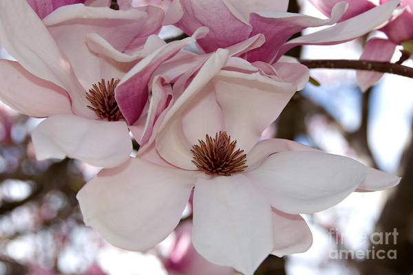 Photograph - Pink Magnolia by Kathleen Gauthier