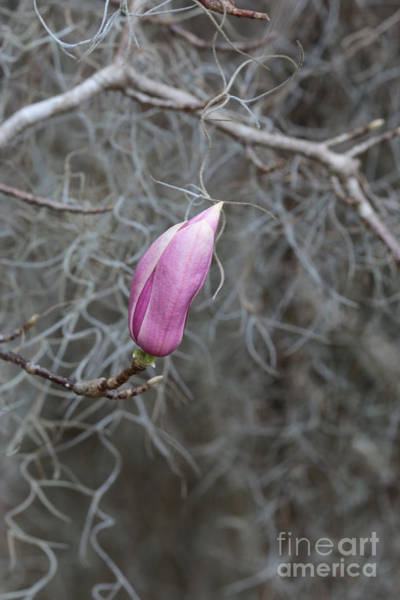 Photograph - Pink Magnolia Waiting by Carol Groenen