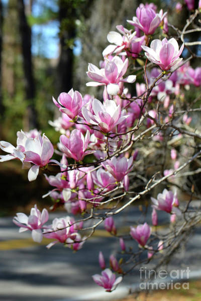Saucer Magnolia Photograph - Pink Magnolias By The Road by Carol Groenen