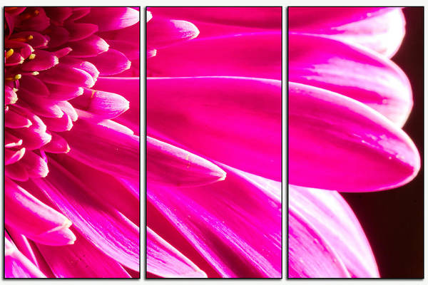 Photograph - Pink Mum Flower Triptych by John Williams