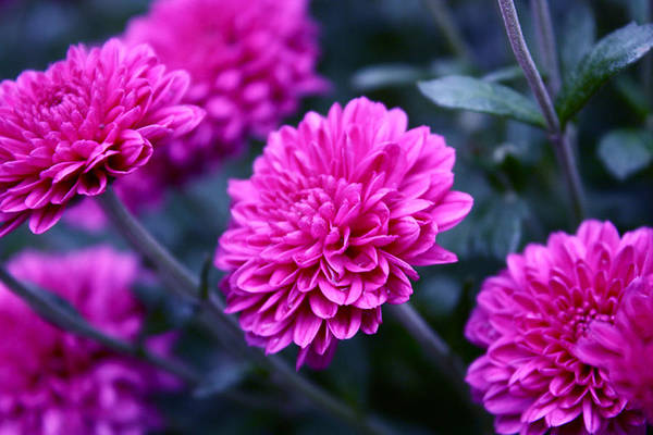 Wall Art - Photograph - Pink Mums by Nancy TeWinkel Lauren