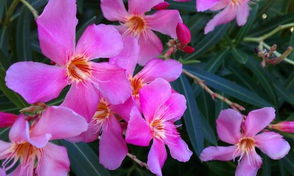 Photograph - Pink Oleander Flowers by Adam Johnson