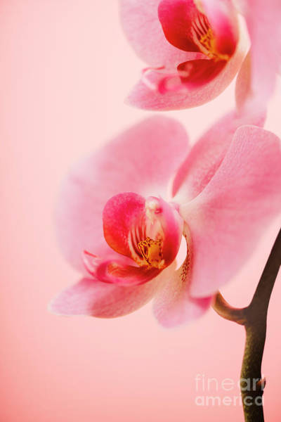 Photograph - Pink Orchid Closeup by Jelena Jovanovic