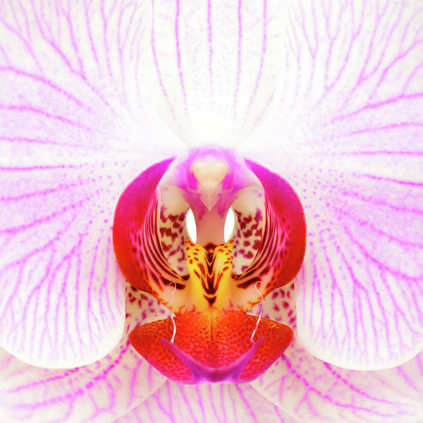 Stamens Photograph - Pink Orchid by Dave Bowman