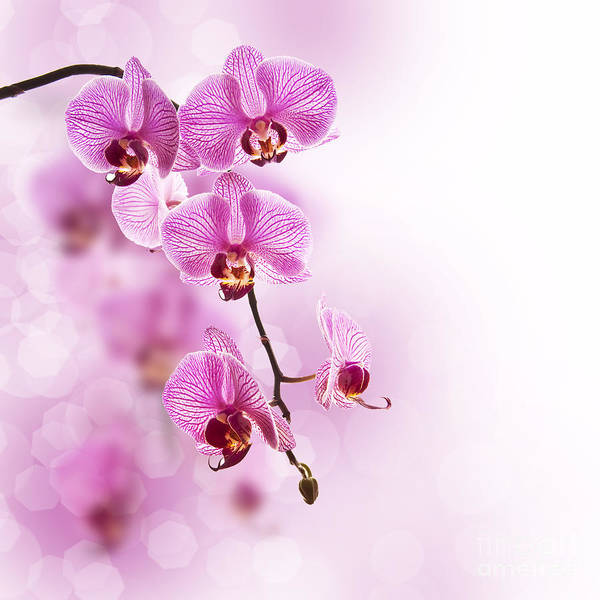 Scent Photograph - Pink Orchid by Delphimages Photo Creations