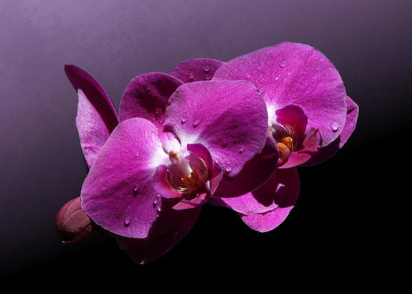 Photograph - Pink Orchid Flowers by Debi Dalio