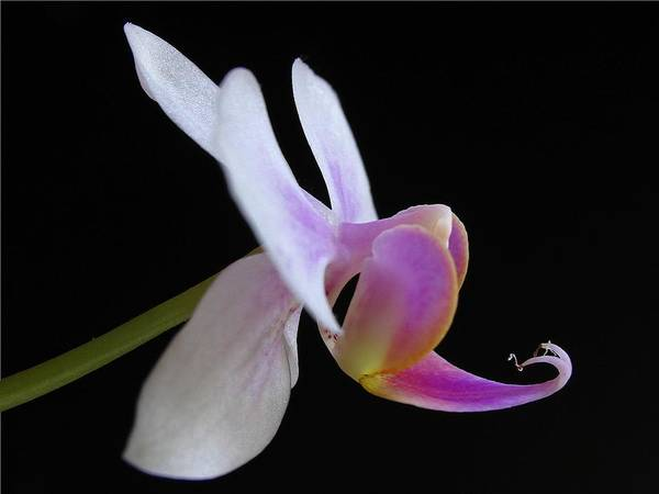 Photograph - Pink Orchid by Juergen Roth