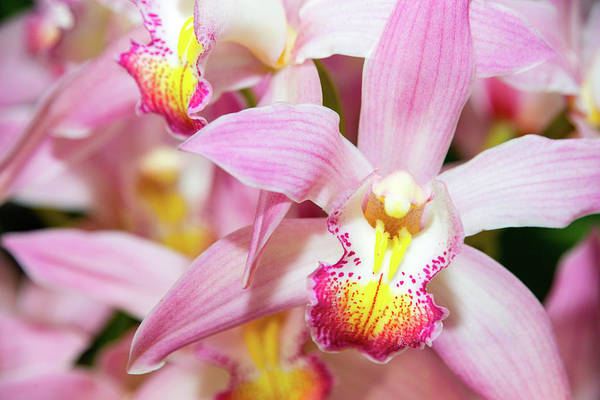 Photograph - Pink Orchid by SR Green