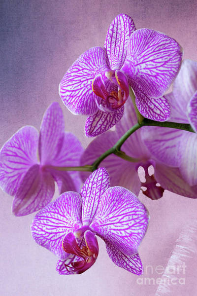 Photograph - Pink Orchids Branch by Heiko Koehrer-Wagner