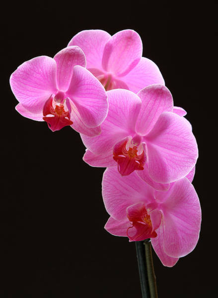 Photograph - Pink Orchids by Juergen Roth