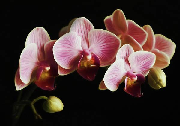 Floristry Photograph - Pink Orchids On Black Wall Art by Georgiana Romanovna