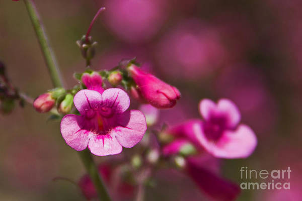 Photograph - Pink Parry's Penstemon  by Kelly Holm