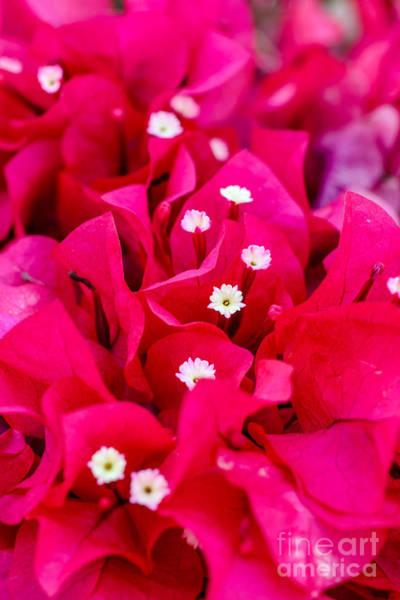Dione Photograph - Pink Passion by Dione Scotland Rivero