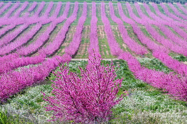 Photograph - Pink Peach Trees Blooming by Heiko Koehrer-Wagner