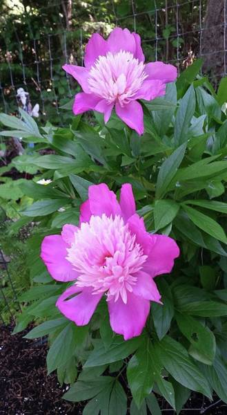 Photograph - Pink Peonies  by Sharon Duguay