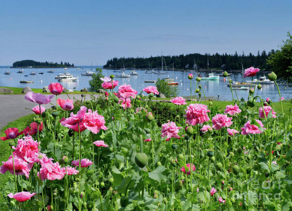 Photograph - Pink Peonies, Tenants Harbor, Maine #30721 by John Bald