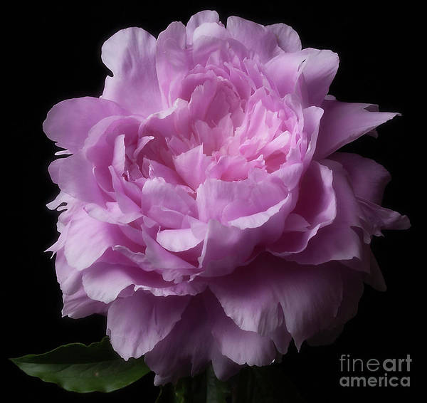 Photograph - Pink Peony by Ann Jacobson