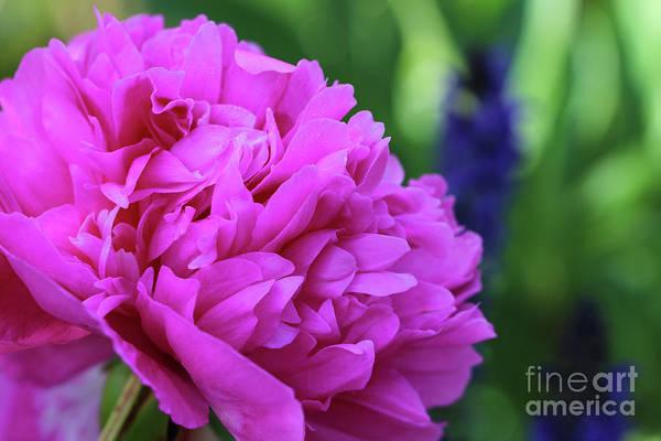 Photograph - Pink Peony In Garden by Karen Adams