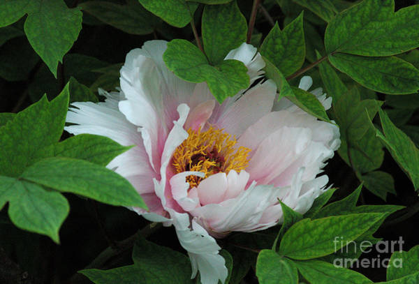 Photograph - Pink Peony by Kathleen Gauthier