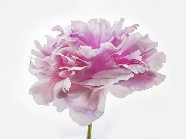 Photograph - Pink Peony by Scott Cordell