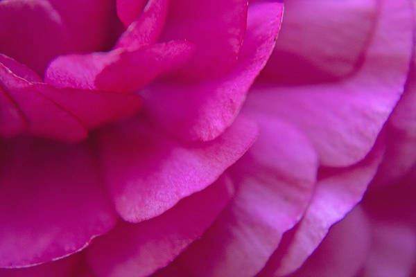 Photograph - Pink Petals by M Valeriano