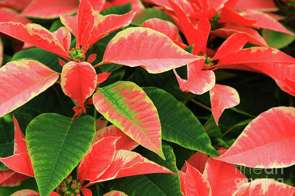 Photograph - Pink Poinsettias by Jill Lang
