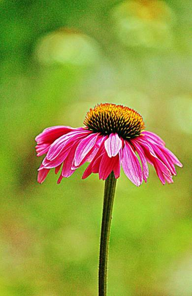 Photograph - Pink Pop Coneflower by Cynthia Guinn