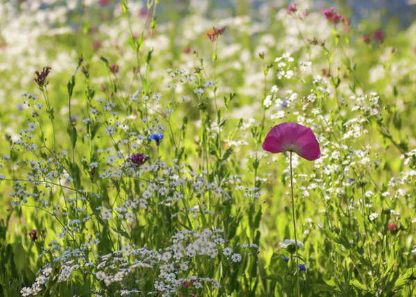 Photograph - Pink Poppy And Wildflowers by Terry DeLuco