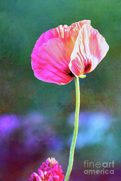 Photograph - Pink Poppy In The Evening Light by Anita Pollak