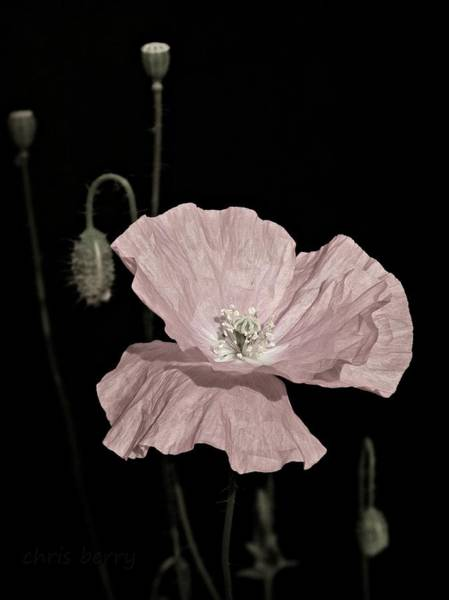 Wall Art - Photograph - Pink Poppy On Black by Chris Berry