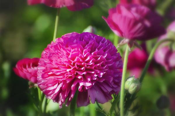 Photograph - Pink Ranunculus by Joan Carroll
