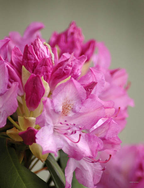 Photograph - Pink Rhododendron 1 by Frank Mari