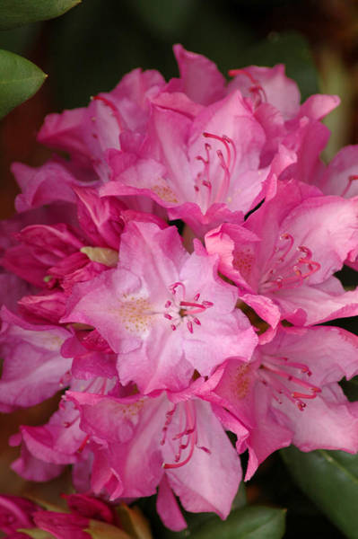 Photograph - Pink Rhododendron 21 by Frank Mari