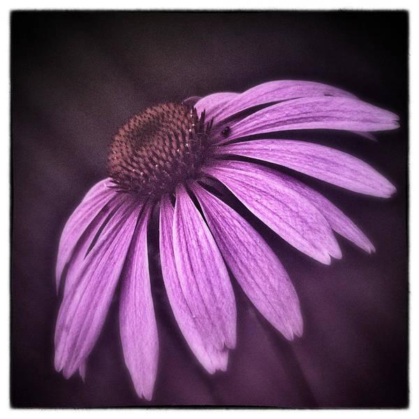 Coneflowers Photograph - Pink by Robert Fawcett