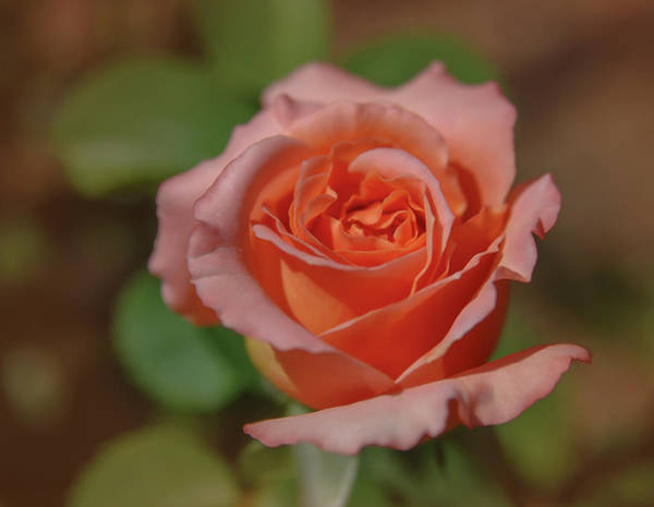Photograph - Pink Rose 2 by Rick Mosher