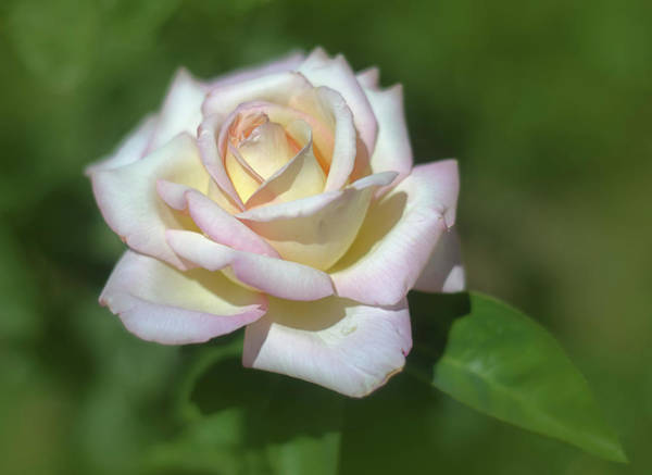 Photograph - Pink Rose 3 by Rick Mosher