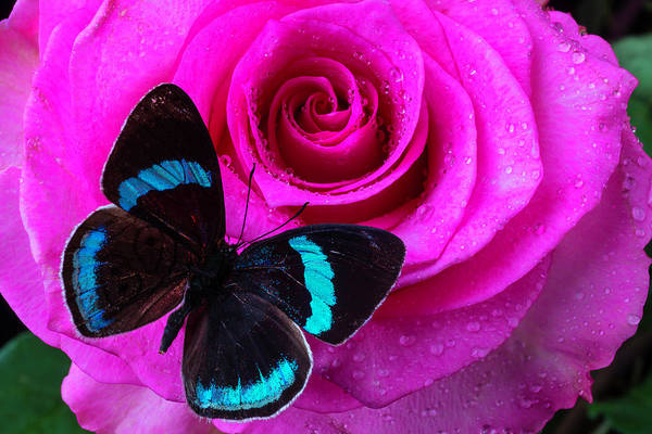 Wet Rose Wall Art - Photograph - Pink Rose And Black Blue Butterfly by Garry Gay