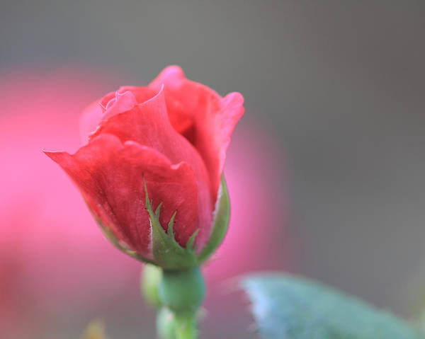 Photograph - Pink Rose by Angela Murdock