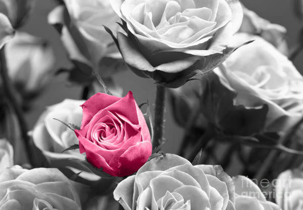 White Rose Photograph - Pink Rose by Blink Images