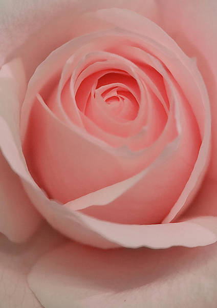 Photograph - Pink Rose by Brian Roscorla