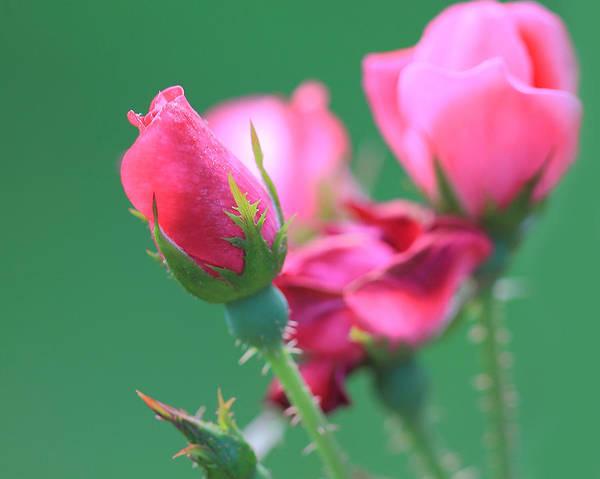 Photograph - Pink Rose Bud by Angela Murdock