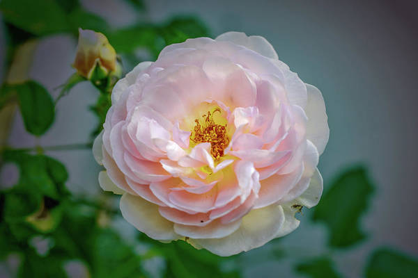 Photograph - Pink Rose #c3 by Leif Sohlman