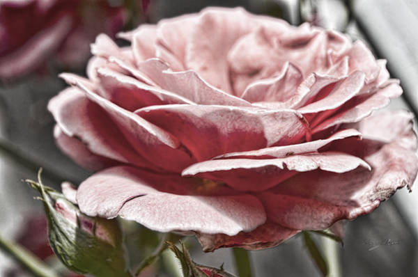 Photograph - Pink Rose Faded by Sharon Popek