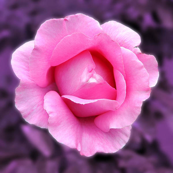 Photograph - Pink Rose by Howard Bagley