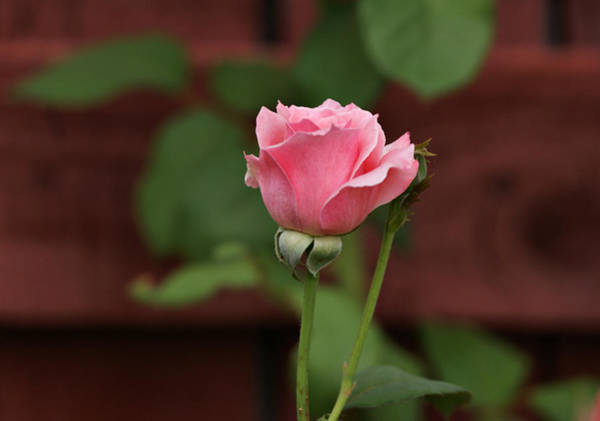 Photograph - Pink Rose In The Garden by Sandy Keeton